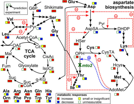 Qualitative predictions of consequences of gene knockdown. The simplified aspartate-family biosynthesis pathway enlarged from Figure 4. Metabolites (AdoMet, S-adenosyl-methionine; Ala, alanine; Arg, arginine; Asn, asparagine; Asp, aspartate; AspSA, aspartate-semialdehyde; Cit, citrate; CisAc, cis-aconitate; Cys, cysteine; CysTA, cystathionine; DHDP, dihydrodipicolinate; Fum, fumalate; Gln, glutamine; Glu, glutamate; Gly, glycine; G6P, glucose-6-phosphate; Hcys, homocysteine; HSer, homoserine; His, histidine; Ile, iso-leucine; IsoCit, iso-citrate; α-KG, α-ketoglutarate; Leu, leucine; Lys, lysine; Mal, malate; Met, methionine; OAc, oxaloacetate; OPH, O-phosphohomoserine; Orn, ornitine; Phe, phenylalanine; Pro, proline; Pyr, pyruvate; Ser, serine; Suc, succinate; SucCoA, succinyl CoA; Thr, threonine; Trp, tryptophan; Tyr, tyrosine; Val, valine) are represented in black letters whereas the knocked-down gene (mto2, MTO2 encoding threonine synthase) is represented in green letters. Two squares boxes indicate the comparisons between experimental results (the former) and in silico prediction (the latter).