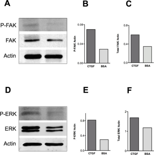 Osteoblast adhesion to CTGF matrix induces FAK, ERK and Runx2 activation.(A) Western blot analysis of p-FAK, total FAK and actin protein levels at day 7 of osteoblast culture on 2 μg/ml CTGF or 1% BSA coated plates while treated with osteogenic medium. (B) P-FAK levels were normalized to actin. (C) Total FAK levels were normalized to actin. (D) Western blot analysis of p-ERK, total ERK and actin protein levels at day 7 of osteoblast culture on 2 μg/ml CTGF or 1% BSA coated plates. (E) P-ERK levels were normalized to actin. (F) Total ERK levels were normalized to actin. All Western blots were repeated a minimum of three times with similar results.