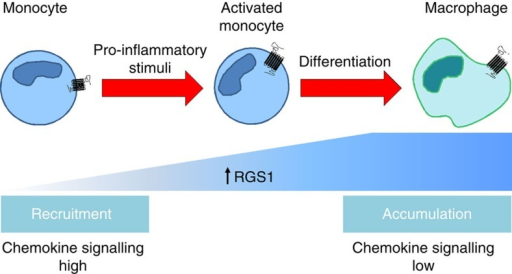 Schematic outline of the regulation of RGS1 in monocyte–macrophages.The expression of Rgs1 in non-activated circulating monocytes is low and upregulated with monocyte activation by pro-inflammatory stimuli during the recruitment phase. Monocytes differentiate into inflammatory macrophages, whereupon they increase their expression of Rgs1, when they are required to generate an inflammatory response. RGS1 terminates chemokine signalling and thereby reduces the capacity for cell migration, which results in the accumulation of macrophages in the subintimal space. RGS1 might be overactivated in the local environment and perpetuate inflammation in the vessel wall. Thus, the differential expression of Rgs1 in monocytes and macrophages may affect early atherosclerotic lesion and aortic aneurysm progression in vivo. This may also be applicable in other inflammatory diseases where dysregulation of monocyte–macrophage trafficking can influence the result of an inflammatory response.