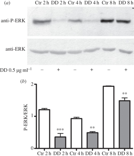 Decadienal (DD) induces ERK dephosphorylation. Middle stage larvae were treated with 0.5 µg ml−1 DD. Samples collected after 2, 4 and 8 h of treatment were examined for ERK activation. (a) Representative experiment showing a Western blot with anti-P-ERK and anti-ERK antibodies. (b) Histograms representing densitometric data analyses of P-ERK versus ERK intensity bands from three independent experiments reported as means ± s.e.m. and assessed by unpaired t-test. Asterisks represent significant differences with respect to the control: **p < 0.01, ***p < 0.001.