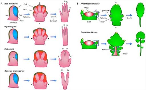 Diversification of both patterning and post-patterning processes contributed to morphological variation of leaves and limbs. (A) In the vertebrate limb bud Fgf8 (green) expression from the apical ectodermal ridge (AER) stimulates proximodistal outgrowth, while posteriorly expressed Ptch1 (blue), through sequestration, creates a posterior to anterior SHH gradient that patterns the individual digits. In later stages, Fgf8 is maintained only in the AER, overlying digits that will completely form, while Msx2 (orange) expression is turned on in the interdigital tissue, triggering apoptosis. In the 3-toed jerboa and camel, expanded Msx2 expression causes the regression of the outermost digits (indicated by arrowheads). In the pig, Ptch1 expression is reduced to eliminate digit I (indicated by a star), a change that is not observed in the closely related camel. Ant, anterior; Post, posterior; P, proximal; D, distal. (B) Simple and dissected leaves similarly initiate as small leaf primordia (LP) from the shoot apical meristem (SAM) at sites where auxin maxima (yellow) are defined by CUC (purple) and PIN1 expression, but only dissected leaves reactivate KNOX (red) expression to suppress leaf cell differentiation. This allows the initial marginal outgrowths, patterned by CUC and PIN1, to develop into leaflets instead of serrations. Species-specific local expression of RCO (blue-green) in Cardamine hirsuta restricts cellular growth within leaf sinuses, thereby allowing separation of individual leaflets through modulation of local growth rates. P, proximal; D, distal.