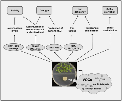 The effects of microbial volatiles on plant abiotic stress tolerance. VOCs can modulate Arabidopsis sodium homeostasis via tissue-specific regulation of HKT1 and possibly also via the SOS pathway. Accumulation of H2O2 and nitric oxide is involved in the VOC-induced drought tolerance in plants. Accumulation of choline synthesized by VOC-induced PEAMT and other osmo-protectants may be a common mechanism for increasing osmotic protection in salt- or drought-stressed plants. VOCs also trigger the expression of FIT1, FRO2, and IRT1 to facilitate iron uptake and plant growth. Under conditions of sulfur starvation, plants directly take up and assimilate the S-containing compounds (e.g., dimethyl disulfide) emitted from some PGPR. See text for details.
