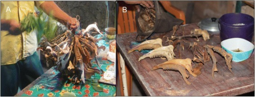 As an important part of the Loojil Ts'oon: (a) the j-men, in his role as a ritual specialist, cleanses the prey's jaws (only deer: Odocoileus virginianus, Mazama spp.; and peccaries: Tayassuidae), (b) which the hunter has kept during the allowed hunting period in order to ritually remove the evil-wind (mal aire in Spanish) they have accumulated in death and thus return them in a proper state to their owners and guardians in the forest. Source: Photos by Dídac Santos-Fita; X-Pichil community, Quintana Roo (2011)
