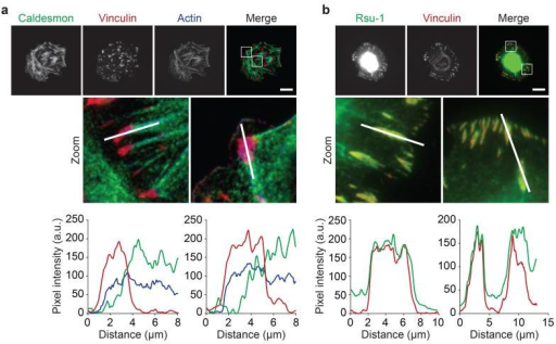 Caldesmon and Rsu-1 localisation in IACs. (a,b) U2OS cells were spread on FN for 2 h and visualised using antibodies against caldesmon (green) (a) and Rsu-1 (green) (b). IACs were visualised by immunofluorescence staining for vinculin (red) and the actin cytoskeleton was visualised by staining with fluorophore-conjugated phalloidin (blue). Graphs show fluorescence intensity values for each channel across line segments in corresponding zoomed areas above each graph. In addition, colocalisation with vinculin-positive areas was quantified for caldesmon (MOC27 = 0.51 ± 0.19) and Rsu-1 (MOC = 0.98 ± 0.03). Values are mean ± s.d. (n = 20 cells from one independent experiment; see Supplementary Table 15 for source data). Scale bars, 20 μm.