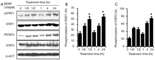 Time response of JAK/STAT pathway activation in RT4-D6P2T after BDNF administration. BDNF (100 pM) was administered to treat rat Schwann cells RT4-D6P2T at 0 min, 10 min, 30 min, 60 min, 120 min and 24 hr. STAT3/STAT1 were activated at 10 min after the treatment with BDNF (lane 2), and the phosphorylation level peaked at 30 min (lane 3) (*P<0.01). One hour later, the pSTAT3/pSTAT1 returned to baseline level (lane 4). Interestingly, STAT3/STAT1 regained phosphorylation at 2 hr post BDNF treatment (lane 5) and reached a second peak at 24 hr, which was even higher than the first peak (lane 6) (#P<0.01). (A) Panel represents western blotting and (B) panel represents the phosphorylation ratio of STAT1 and STAT3 in RT4-D6P2T. Four independent experiments were done for each data point, and the error bars represent ± SD. JAK, Janus kinase; STAT, signal transducer and activator of transcription; BDNF, brain-derived neurotrophic factor.