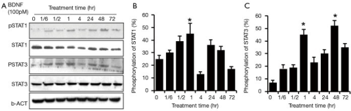 Time response of JAK/STAT pathway activation in HSCs after BDNF treatment. BDNF (100 pM) was administered to treat the human Schwann cells at 0 min, 10 min, 30 min, 60 min, 120 min, 24 hr and 72 hr. STAT3/STAT1 were activated at 10 min after the treatment with BDNF (lane 2), and the phosphorylation level peaked at 60 min (lane 4) (*P<0.01). In human Schwann cells, STAT3/STAT1 phosphorylation sustained for a relatively longer response period than in rat Schwann cells. Two hours later, the pSTAT1 returned to near baseline level (lane 5), while the pSTAT3 remained at a higher than baseline level. In addition, STAT3/STAT1 regained phosphorylation and reached a second peak at 24–48 hr (lane 6&7) (#P<0.01). The activation of STAT1 was totally quenched at 72 hr post-BDNF treatment (lane 8), while pSTAT3 remained at a higher than baseline level also. (A) Panel represents western blotting and (B) panel represents the phosphorylation ratio of STAT1 and STAT3 in HSCs. Three independent experiments were done for each data point, and the error bars represent ± SD. JAK, Janus kinase; STAT, signal transducer and activator of transcription; HSCs, human Schwann cells; BDNF, brain-derived neurotrophic factor.