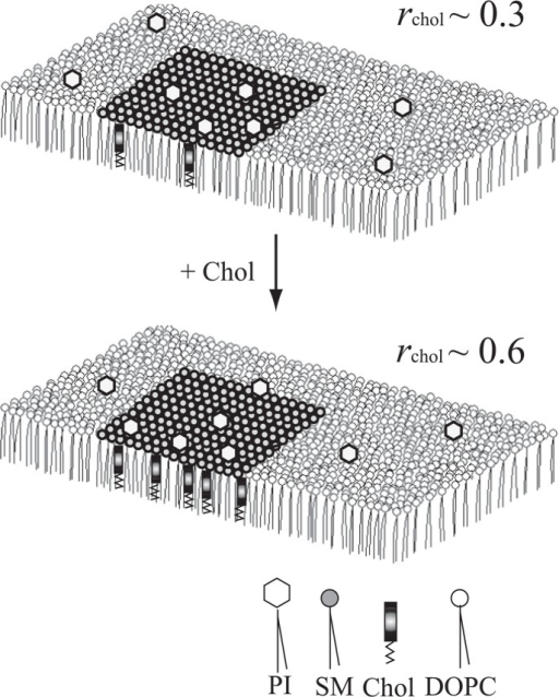 Chol-induced redistribution of PI molecules between the SCm and the fluid matrix, speculated from the results obtained in the model monolayer systems. When rChol∼0.3, PI may be equally distributed between the fluid matrix and the SCm (upper). The PI molecules will be gradually transferred from the fluid matrix to the SCm as rChol increases (lower).