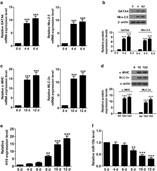 The expression levels of GATA4, Nkx-2.5, α-MHC, MLC-2v and H19 are significantly upregulated and miR-19b was downregulated at indicated time points. a mRNA levels of early cardiac-specific markers (GATA4 and Nkx-2.5α-MHC) were increased significantly in P19CL6 cells at day 4 and 6. b Protein levels of GATA4 and Nkx-2.5α-MHC were augmented significantly in P19CL6 cells at day 4 and 6. c mRNA levels of cardiac contractile protein genes (α-MHC and MLC-2v) were increased significantly in P19CL6 cells at day 10 and 12. d Protein levels of α-MHC and MLC-2v were elevated significantly in P19CL6 cells at day 10 and 12. e Level of H19 was augmented significantly from day 8 to day 12. f Level of miR-19b was dropped significantly from day 8 to day 12. **P < 0.01, ***P < 0.001