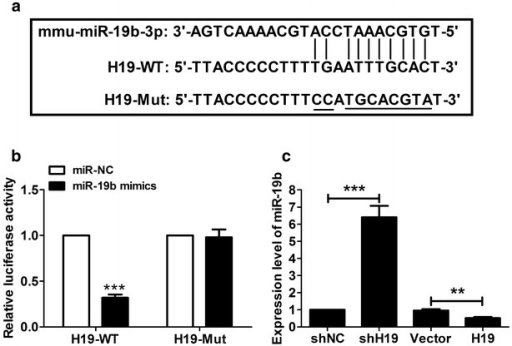 H19 targets and inhibits miR-19b expression. a The sketch map of the mmu-miR-19b-3p site in H19 3′-UTR. b Luciferase activity assay was performed in 293T cells at 48 h after transfection. miR-19b mimics were capable of significantly inhibiting luciferase expression of H19-WT reporter plasmid but not the H19-Mut reporter plasmid. c miR-19b levels were significantly up- or downregulated in P19CL6 cells transfected with shH19 or H19, respectively. **P < 0.01, ***P < 0.001