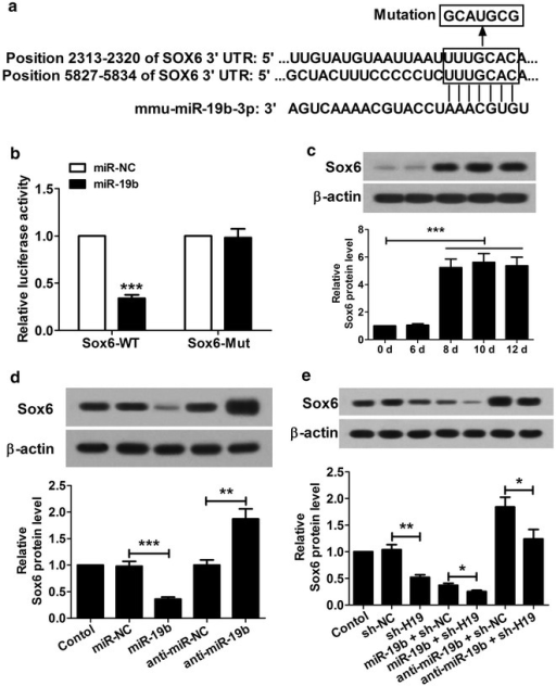 miR-19b targets Sox6 gene and inhibits its expression. a The sketch map of the mmu-miR-19b-3p site in Sox6 3′-UTR. b Luciferase activity assay was performed in 293T cells at 48 h after transfection. The reporter assay indicated that miR-19b mimics were capable of significantly inhibiting luciferase expression of the Sox6-WT reporter plasmid but not the Sox6-Mut reporter plasmid. c Western blot showed that protein level of Sox6 was low from day 0 to 6, and was significantly upregulated from day 8 to 12. d The Sox6 protein levels were significantly down- and up-regulated respectively in P19CL6 cells transfected with miR-19b and anti-miR-19b at day 10. e shH19 inhibited the Sox6 expression significantly, but miR-19b enhanced the inhibitory effect of shH19 on Sox6 expression and anti-miR-19b reversed the influence of shH19 on Sox6 expression at day 10 after transfection. *P < 0.05, **P < 0.01, ***P < 0.001