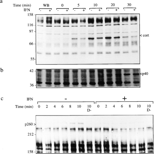 Shigella induces the phosphorylation of cortactin, p40  and p260. Untreated cells (−) or cells treated with 500 U/ml of  IFN-α (+) were challenged with Shigella expressing the AfaE adhesin for various time points, lysates were analyzed by Western  blot using anti-phosphotyrosine mAb. Samples were fractionated  on gels containing 8% (a and b) and 5% (c) polyacrylamide. 0, 5,  10, 15, 20, 30, cells challenged with Shigella for 0, 5, 10, 15, 20, 30  min, respectively. WB, no bacteria; D−, cells challenged with Shigella mxiD mutant. IFN-α inhibits p260 and cortactin (cort) phosphorylation.