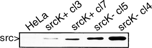 Pp60c-src expression levels in stable transfectants. HeLa cells were transfected with a plasmid  construct mediating expression of either wild-type chicken Src (srcK+) or a kinase inactive  mutant of Src (srcK−) and stable clones were selected. Lysates of  two representative clones were analyzed by Western blot analysis  using anti-Src mAb. HeLa, parental HeLa cells; srcK+ cl3 and  srcK+ cl7, HeLa cells transfected with wild-type Src, clones 3 and  7, respectively; srcK− cl4 and srcK+ cl5, HeLa cells transfected  with wild-type Src, clones 4 and 5, respectively.