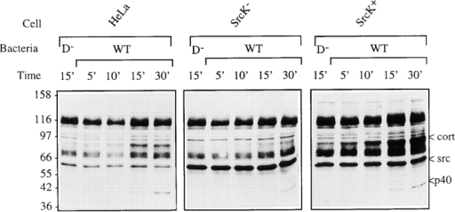 Src is responsible for Shigella-induced cortactin phosphorylation. srcK−, srcK+ and control cells (HeLa) were challenged with mxiD− or wild-type (WT) Shigella and their content  in phosphotyrosyl proteins was analyzed by Western blot using  anti-phosphotyrosine mAb. 5, 10, 15, 30, cells challenged with  Shigella for 5, 10, 15, 30 min, respectively; D−, cells challenged  with the Shigella mxiD mutant. Approximately 10 μg of protein  was loaded per lane.