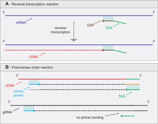 Schematic illustrating the advantages associated with the use of tags/anchors to circumvent gDNA contamination. During reverse transcriptase (A) the tag/anchor is included the cDNA allowing its specific amplification during PCR (B).