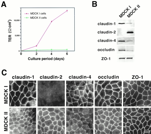 Claudins in MDCK I and II cells. (A) TER measurement of MDCK I and II clones used in this study. MDCK I or II cells (4 × 105 cells) were plated on 24-mm filters. In 6-d culture, the TER values of MDCK I and II cells reached the maximum levels, 12,992 ± 594 and 206 ± 35 Ωcm2, respectively (mean ± SD, n = 11). (B) Immunoblotting. Total lysates of MDCK I and II cells were separated by SDS-PAGE, followed by immunoblotting with pAbs for claudin-1, -2, and -4, and mAbs for occludin and ZO-1. In both MDCK I and II cells, claudin-1 and -4 were expressed, although their expression levels in MDCK II cells were significantly lower than those in MDCK I cells. Claudin-2 was expressed only in MDCK II cells. Occludin was expressed in larger amounts in MDCK I than MDCK II cells. (C) Immunofluorescence microscopy. In MDCK I cells, claudin-1, claudin-4, occludin, and ZO-1 were coconcentrated at TJs, where claudin-2 was undetectable. In contrast, in MDCK II cells, in addition to claudin-1, claudin-4, occludin, and ZO-1, claudin-2 was clearly detected at TJs. The claudin-4 signal was weak. Bar, 10 μm.