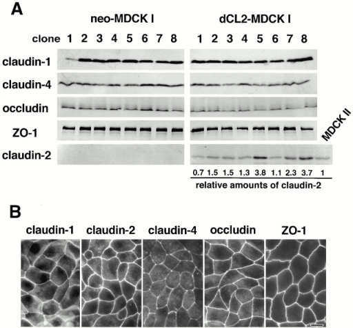 Establishment of MDCK I transfectant clones stably expressing claudin-2. Dog claudin-2 and neomycin-resistance genes were introduced into MDCK I cells, and eight independent clones for each were established (dCL2-MDCK I and neo-MDCK I, respectively). (A) Immunoblotting. Total lysates of neo-MDCK I and dCL2-MDCK I clones (and also MDCK II cells) were subjected to SDS-PAGE in the same amount of total proteins, followed by immunoblotting. There were no significant differences in the expression levels of claudin-1, claudin-4, occludin, or ZO-1, except for the dCL2-MDCK I–specific expression of claudin-2 between neo-MDCK I and dCL2-MDCK I clones. The amounts of endogenous claudin-2 in MDCK II cells as well as exogenous claudin-2 in dCL2-MDCK I cells were quantified as described in Materials and Methods, and their dCL2-MDCK I/MDCK II ratios (relative amounts of claudin-2) were calculated. (B) Immunofluorescence microscopy. In clone 2 of dCL2-MDCK I cells, together with endogenous claudin-1, claudin-4, occludin, and ZO-1, exogenously expressed claudin-2 was co-concentrated at TJs. Bar, 10 μm.