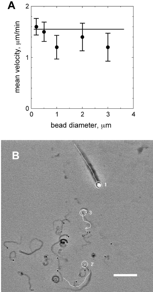The velocity of beads is independent of their size. (A) Beads of different diameters (0.2–3 μm, relative sizes are drawn at the bottom of the panel) were coated with N-WASP (ds = 0.016). Movement was recorded in the standard motility medium. (B) Trajectories of beads of different diameters (1, 3 μm; 2, 1 μm; 3, 0.5 μm) moving in the same field in the standard motility medium were recorded over a period of 60 min and traced in white on the last frame image (see also Video 1, available at http://www.jcb.org/cgi/content/full/jcb.200207148/DC1). Bar, 15 μm.