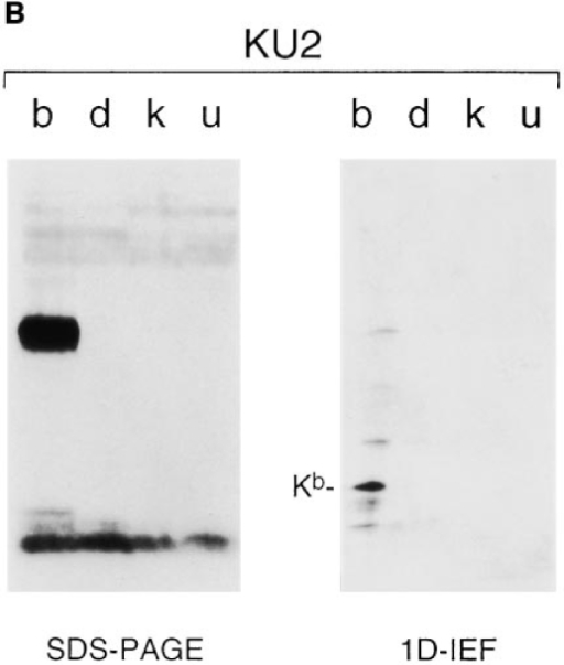 Western blot analysis of diverse class I material. Splenocyte  extracts from H-2 b, d, k, and u haplotype mice were resolved on SDS– PAGE or 1D–IEF gels and blotted with either RafHC (A) or KU2 (B).