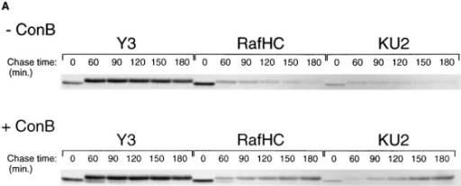 Breakdown of unfolded Kb heavy chains at the cell surface. (A) RMA cells were starved for 45 min in the absence or presence of the vacuolar  H+-ATPase inhibitor Con B, pulse-labeled for 5 min, and then chased for the times indicated. Class I heavy chains were directly immunoprecipitated  from NP-40 detergent lysates (no initial preclear) with the antibodies indicated in each panel, and reimmunoprecipitated with the p8 antiserum before  SDS–PAGE. (B) Phosphoimager quantitation of the band densities in A. The data sets for each pulse–chase were normalized around the 60 min chase  point densities.