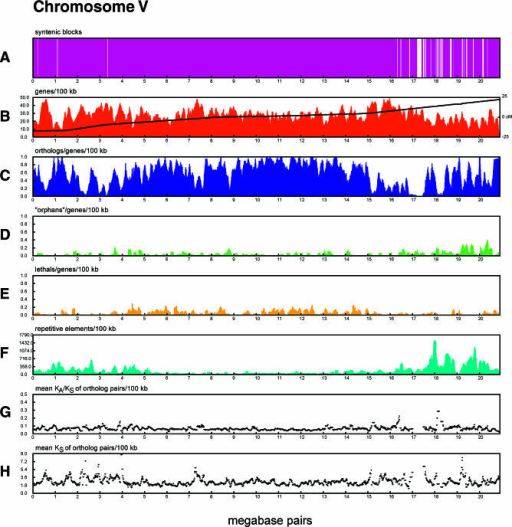 "Evolutionary Divergence across C. elegans Chromosome VEach panel corresponds to a C. elegans chromosome, and the individual tracks show different measurements of evolutionary divergence.(A) Regions of synteny (colinearity) between C. elegans and C. briggsae. White areas correspond to areas where the two genomes could not be aligned owing to divergence and are more abundant in the chromosome arms.(B) C. elegans gene density and genetic map position. Gene density is plotted as a histogram, showing a relatively uniform distribution of genes across each chromosome. The relationship of the position of genes on the genetic map to their position on the sequence is superimposed on the y-axis. Steeper slopes in this plot indicate higher rates of meiotic recombination. Inflection points in the genetic map plot reflect the division of the chromosomes into recombinationally active ""arms"" and recombinationally slow ""centers.""(C) C. briggsae/C. elegans orthologs normalized for gene density in 100 kbp sliding windows. Prominent regions of low ortholog density are seen on chromosome arms.(D) C. elegans ""orphans,"" genes with no significant protein similarity in C. briggsae or the non-C. elegans portion of SwissProt. This histogram has been normalized for gene density in 100 kbp sliding windows. Spikes in orphan density seem to correlate with regions of low ortholog density.(E) C. elegans genes that mutate to lethality or are lethal in RNAi screens, in 100 kbp sliding windows normalized to overall gene density. This track shows the distribution of essential genes and demonstrates their tendency to cluster in the chromosome centers.(F) Repetitive elements, binned in 100 kbp sliding windows. Repeat-rich regions correlate with both the absence of significant syntenic coverage and ortholog-poor regions.(G) The KA/KS ratio in ortholog pairs. Lower values indicate greater levels of purifying selection.(H) The rate of KS within ortholog pairs, in 100 kbp sliding windows."