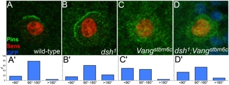 Regulation of Pins cortical localization by Dsh is partly independent of Vang.The cortical localization of Pins (green) was examined in SOPs (Sens, red) in wild-type (A,A′), dsh1 (B,B′), Vangstbm6c (C,C′) and dsh1 Vangstbm6c double mutant (D,D′) SOPs. In D, nls-GFP (in blue) was used as clonal marker. The extent of the Pins-positive cortical domain in late prophase SOPs was measured as an angle value. The results of this quantification are shown in the bottom panels.
