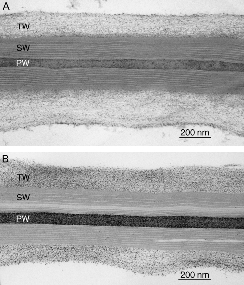 Ultrastructure of StKCS6-silenced periderms. Transmission electron micrographs showing a detailed view of the cork cell walls ultrastructure of wild-type (A) and transgenic StKCS6-RNAi (B) periderms. The polysaccharide primary wall (PW) and tertiary wall (TW) as well as the suberized secondary wall (SW) formed by the typical suberin lamella show a normal development in the StKCS6-RNAi periderm.