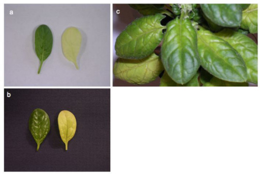 Silencing phenotypes obtained with pWSRi:rbcS and pWSRi:trnktls display bleached leaves. (a) Leaves from spinach plants treated with pWSRi vector (left) or pWSRi:rbcS (right). (b) Individual leaves from plants treated with pWSRi vector (left) or pWSRi:trnktls (right). The pWSRi:rbcS-treated leaf is yellow-white, whereas pWSRi:trnktls-treated leaf is yellow with residual green color often evident in the veins. (c) Photograph of pWSRi:rbcS treated-plant showing progressive bleaching of the leaves from the petiole, spreading into the blade and distally along the midrib.