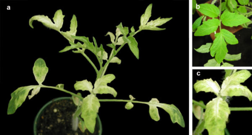 Silencing phenotype obtained with pWSRiA:ChlI show a mosaic of leaf bleaching. Tomato plants were agroinfiltrated with pWSRiA:ChlI to silence the sulfur allele of magnesium chelatase, or with pWSRiA:CAT (negative control). Photographs were taken approximately 4 weeks post-infiltration. (a) Plant treated with pWSRiA:ChlI. (b) Leaves of plant treated with pWSRiA:CAT. (c) Leaves of plant treated with pWSRiA:ChlI showing progressive bleaching beginning from the midrib.