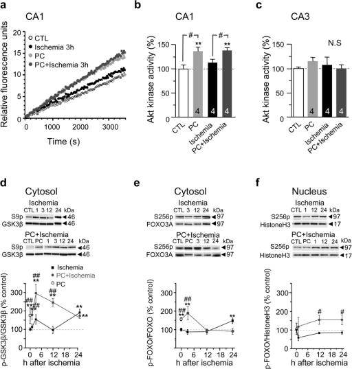 Preconditioning but not ischemia promotes Akt kinase activity and phosphorylation of Akt targets. (a) Akt activity plots of relative fluorescence units vs. time. Experimental animals were sacrificed 3 h after reperfusion. (b) Mean Akt kinase activity in CA1. n = 4 animals per group. (c) Mean Akt kinase activity in CA3. n = 4 animals per group. (d) Western blot for p-GSK-3β at Ser 9 in the cytosol. n = 4–6 animals per group. (e) Western blot for p-FOXO3A at Ser 256 in the cytosol. n = 4–6 animals per group. (f) Western blot for p-FOXO3A at Ser 256 in the nucleus. n = 4–6 animals per group. Error bars represent means ± SEM. Significance is as described in the legend to Fig. 1.