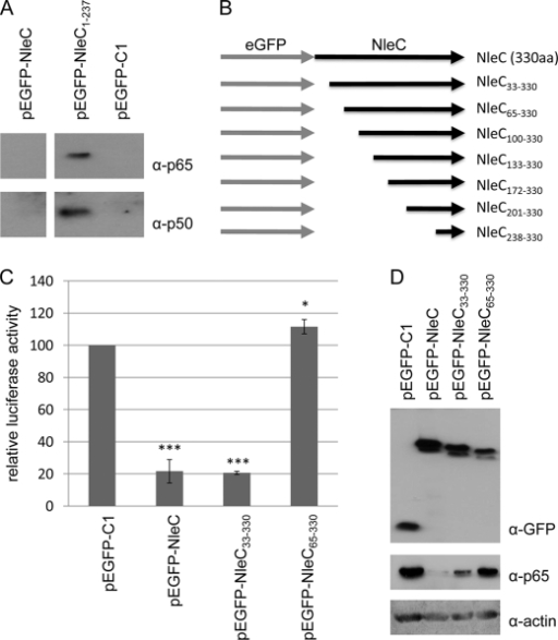Interaction of p65 and p50 with eGFP-NleC1–237 and critical role for NleC residues 33–64. A, representative immunoblot of anti-GFP immunoprecipitate isolated from cells transfected with pEGFP, pEGFP-NleC, or pEGFP-NleC1–237 probed for p65 and p50. The data reveals that p65 and p50 can be isolated with eGFP-NleC1–237 but not eGFP or eGFP-NleC, the latter presumably due to rapid p65/p50 degradation. B, schematic of NleC N-terminal truncation variants constructed and screened in NFκB luciferase reporter assay. C, relative luciferase activity of cells expressing NleC and indicated variants, compared with control pEGFP-transfected cells. Data shown are mean (±S.D.) of three experiments done in triplicate with level of significance (Student's t test) indicated. *, p ≤ 0.05; ***, p ≤ 0.005 as compared with empty vector control. NleC33–330 but not NleC65–330 inhibits NFκB luciferase reporter activity revealing a critical role for residues between 33 and 64. D, representative immunoblot probed for GFP, p65, and actin that links loss of NFκB luciferase reporter activity of the NleC65–330 variants with a major defect in depleting p65 from the cell.