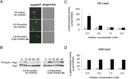In vivo activity and selectivity of inhibitor                            4a.(A) Nuclear accumulation of Hog1 is prevented in the presence of                                4a. A plasmid encoding a Hog1-GFP fusion protein was                            transformed into the hog1Δ mutant, and living cells                            were analyzed by fluorescence microscopy for Hog1 localization. Cells                            were either untreated or exposed to osmotic stress (0.8 M sorbitol).                            Inhibitor (5 µM) was added to cells 15 minutes before osmotic                            stress was applied. (B) Hog1 dephosphorylation is prevented in the                            presence of 4a. Hog1 phosphorylation was monitored in cells                            exposed to osmotic stress (0.8 M sorbitol) by Western blot analysis                            using an antibody specific to dually phosphorylated p38 MAPK, and an                            anti-Hog1 antibody was used as a control. Inhibitor (5 µM) was                            added to cells 15 minutes before osmotic stress was applied. (C)                            Inhibition of Hog1-dependent gene expression. Exponentially growing                            cells harboring the STL1-lacZ reporter                            were exposed to osmotic stress (0.8 M sorbitol) and assayed for                            β-galactosidase activity as described in the Experimental section.                            Induced expression of the STL1 gene by osmotic stress                            required Hog1 but no other signal transduction pathways. Inhibitor was                            added to cells at the indicated concentrations 10 minutes before osmotic                            stress was applied. The results are the average of three independent                            experiments and the error bars represent standard deviation (s.d.). (D)                                4a is selective for Hog1 inhibition since it does not                            affect the Fus3/Kss1 MAPKs. Exponentially growing cells harboring the                                FUS1-lacZ reporter were exposed to                            α-factor (10 µM) and assayed for β-galactosidase activity                            as described above. Induced expression of the FUS1 gene                            in response to α-factor required Fus3 and Kss1 but was independent                            of Hog1 [38].