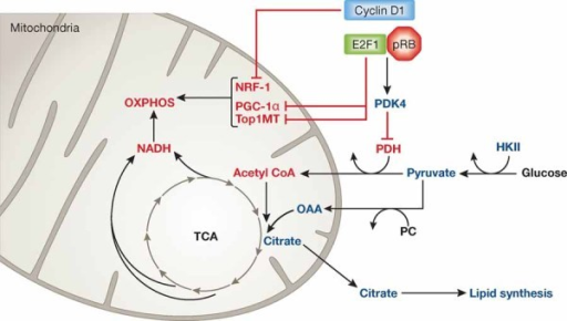 Participation of cell cycle regulators in energy homeos