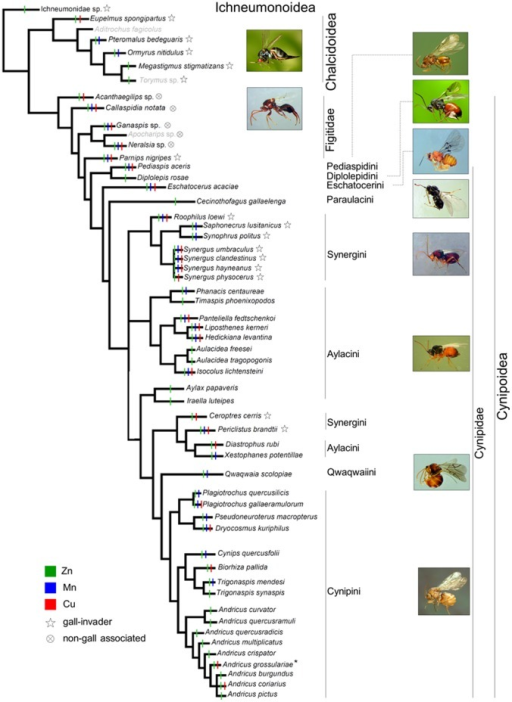 Occurrence of metals in the mandibles of the studied species, mapped on a phylogenetic tree derived from recent literature and unpublished data (see Methods).Species for which mandibles were not studied have their name in grey. * Zn and Cu are present in the sexual form, while only Zn is present in the asexual form.