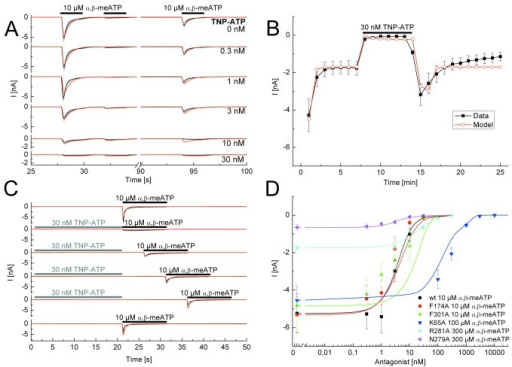 Application protocols used to investigate the nature of antagonism between TNP-ATP and α,β-meATP at the wild-type (wt) P2X3R and its binding site mutants.A, Steady-state application protocol for the wt P2X3R. α,β-meATP (10 µM) was superfused three times for 2 s each, with 2-s and 60-s intervals between subsequent applications, both in the absence and in the presence of increasing concentrations of TNP-ATP (0.3-30 nM; each agonist application cycle was spaced apart by 5 min). B, Dynamic antagonist application protocol. α,β-meATP (10 µM) was repetitively applied for 1 s each at an interval of 1 min. The onset and offset of the blockade by TNP-ATP (30 nM; 5 min) is shown. C, Wash-out protocol for the wt P2X3R. α,β-meATP (10 µM) application of 10-s duration was done either in the absence of TNP-ATP (30 nM) or at variable time-periods (up to 15 s, as indicated) after its wash-out; TNP-ATP was superfused for 25 s with 5 min intervals between each run. D, Concentration response-curves for the indicated mutant receptors simulated by the Markov model (lines) to fit the experimentally determined mean current amplitudes (symbols) without and with increasing concentrations of TNP-ATP (0.3 nM - 10 µM) in the superfusion medium. The F301A curve is misplaced with respect to the symbols. One possible explanation for this finding is that the simulation takes the kinetics, the association and dissociation rates and the recovery time into account and not only the amplitudes. α,β-meATP concentrations were adjusted for the requirements of every mutant. The black lines represent the experimentally measured P2X3R currents (A, C) or the lines connecting the experimentally determined mean values (B), with the grey bars as their S.E.M. The fitted currents have a red colour. Means ± S.E.M. of the data together with the generated concentration-response curves are shown in colour (D). The number of similar experiments for each group of data varied from 6-13. The thick horizontal lines above the current traces designate the duration of agonist or antagonist superfusion.