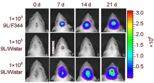 Tumor growth was detected by bioluminescence imaging in vivo.9LLUC cells were implanted intracerebrally into Fischer 344 or Wistar rats (n=4 per group).Tumor growth in F344 rats is presented (A-D) from day 7 to day 21 after cell implantation. No continued growth of tumors in Wistar rats receiving simultaneous intracranial injections of 9LLUC (105) from day 7 to day 21 was observed (E-H), while globular brain tumor growth occurred constantly after implantation in 9L/Wistar rats (I–L) receiving 106 9LLUC cells, without evidence of regression.Right scale is used for photon counting, and tumor size, and tumor cell number are calculated according to the right scale and colors.