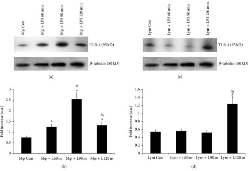 Expression of TLR-4 receptor in purified splenic macrophages and lymphocytes after in vitro stimulation with LPS. The results in (a) and (c) show the differential translation of the TLR-4 mRNA to the protein in the splenic macrophages and lymphocytes, respectively, after in vitro stimulation with LPS from a set of triplicate experiments. Lane 1 (Mφ Con) represents TLR-4 on untreated macrophages, lane 2 (Mφ + L60 m) represents TLR-4 expression on the macrophages treated with LPS for 60 minutes, lane 3 (Mφ + L90 m) represents TLR-4 expression on macrophages treated with LPS for 90 minutes, and lane 4 (Mφ + 120 m) represents TLR-4 expression on macrophages treated with LPS for 120 minutes. Lane 1 (Lym Con) represents TLR-4 on untreated lymphocyte, lane 2 (Lym + L60 m) represents TLR-4 expression on the lymphocyte treated with LPS for 60 minutes, lane 3 (Lym + L90 m) represents TLR-4 expression on lymphocyte treated with LPS for 90 minutes, and lane 4 (Lym + L120 m) represents TLR-4 expression on lymphocyte treated with LPS for 120 minutes. The following symbols represent the significant fold change in TLR-4 expression between: *control versus LPS treated cells, #LPS treatment for 60 min versus LPS treatment for 90 and 120 min, %LPS treatment for 90 min versus LPS treatment for 120 min. Significant change (P < 0.05).