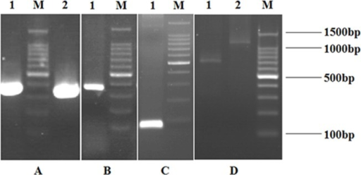 Agarose gel electrophoresis of the amplified DNA fragments of VH, VL, Cκ, GS Linker and assembled scFv library, assembled ribosome display library.A: The amplified DNA fragments of VH and VL. Lane 1: The fragment of VH; Lane 2: The fragment of VL; Lane M: 100bp DNA ladder marker. B: The amplified DNA fragment of Cκ. Lane 1: The fragment of Cκ; Lane M: 100bp DNA ladder marker. C: The amplified DNA fragment of GS Linker. Lane 1: The fragment of GS Linker; Lane M: 100bp DNA ladder marker. D: The amplified DNA fragments of assembled scFv library and ribosome display library. Lane 1: The fragment of assembled scFv library; Lane 2: The fragment of assembled ribosome display library; Lane M: 100bp DNA ladder marker.