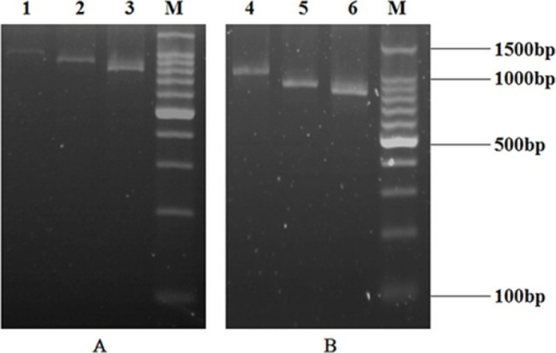 Agarose gel electrophoresis of the selected anti-CIT scFv genes over six rounds of ribosome display.After selection, the mRNA was amplified by in situ RT-PCR and the products were analyzed by agarose gel electrophoresis. A: The selected anti-CIT scFv genes over ribosome display. Lane 1: The selected anti-CIT scFv genes over the first round of ribosome display; Lane 2: The selected anti-CIT scFv genes over the second round of ribosome display; Lane 3: The selected anti-CIT scFv genes over the third round of ribosome display; Lane M: 100bp DNA ladder marker. B: The selected anti-CIT scFv genes over ribosome display. Lane 4: The selected anti-CIT scFv genes over the fourth round of ribosome display; Lane 5: The selected anti-CIT scFv genes over the fifth round of ribosome display; Lane 6: The selected anti-CIT scFv genes over the sixth round of ribosome display; Lane M: 100bp DNA ladder marker.