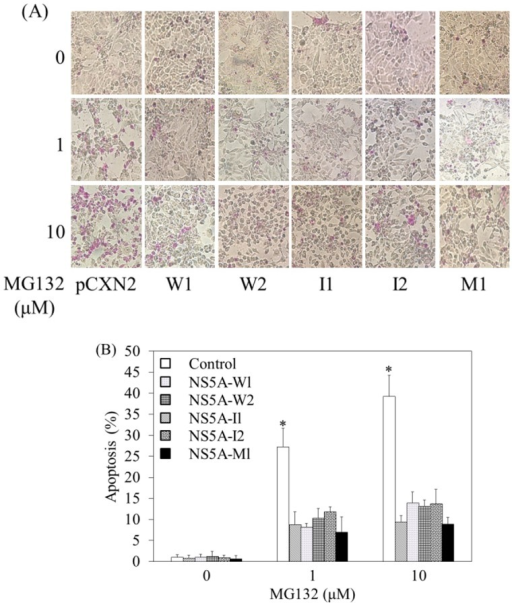 HCV NS5A interferon-sensitivity determining region (ISDR) has no impact on MG132-induced apoptosis.A, B, HepG2 cells were transfected with 0.3 μg of each vector as indicated. After 24 hours, cells were treated with 0–10 μM MG132 for 24 hours, and apoptosis was evaluated by the APOPercentage Apoptosis Assay. A, Purple-red-stained cells were identified as apoptotic cells by light microscopy (40X). B, The number of purple-red cells is shown. *P<0.05, compared to HepG2 control cells without MG132 treatment by Student's t-test.