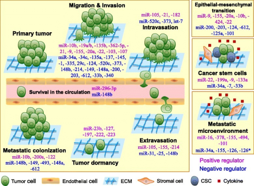 The roles of microRNAs in the regulation of tumor metastasis. Tumor metastasis is a complex process that is composed of multiple steps. To disseminate to distant sites, tumor cells detach from their primary sites by local migration, invasion and penetration of the stromal cell layers. For blood vessel-borne metastasis, disseminated tumor cells (DTCs) intravasate into blood vessels and survive in the circulation. After they arrive at distant organ sites, DTCs must extravasate from the blood and adapt to the new tissue microenvironments, where only a few DTCs form micrometastases. Finally, only a small subset of micrometastases eventually becomes detectable macrometastases. During this metastatic cascade, miRNAs can regulate the expression of multiple target genes and can modulate multiple tumor cell phenotypes, such as motility, invasion, intravasation, resistance to anoikis, extravasation and metastatic colonization as well as epithelial-mesenchymal transition, cell stemness, dormancy and the tumor microenvironment. miRNAs may act as positive regulators (purple) or negative regulators (blue) in the regulation of tumor metastasis. ECM, extracellular matrix; CSC, cancer stem cell