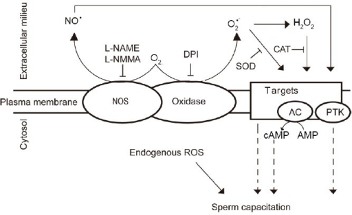 Production of ROS during mammalian sperm capacitation. Capacitation-associated production of ROS occurs on the plasma membrane of the spermatozoon. Still unrevealed a putative sperm oxidase produces O2•– that can dismutate spontaneously to form H2O2, triggering capacitation. SOD and CAT, both acting extracellularly, are able to block sperm capacitation, thus confirming that the production of these ROS forms is at the level of the plasma membrane. NO is also needed for sperm capacitation. Candidates for the source of this ROS could be a specific NOS or an oxidase with intrinsic NOS activity since L-NAME or L-NMMA–both inhibitors of NOS activity – prevent capacitation. It is also plausible that endogenous production of ROS is required for capacitation. AC: adenylyl cyclase; PTK: protein tyrosine kinase; ROS: reactive oxygen species; SOD: superoxide dismutase; NO: nitric oxide; CAT: catalase; H2O2: hydrogen peroxide; O2•–: superoxide anion; NOS: nitric oxide synthase.