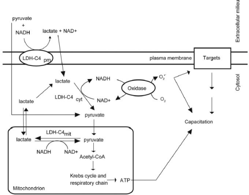 Participation of isoforms of LDH-C4 during bull sperm capacitation induced by NADH in vitro. The LDH-C4pm located at the plasma membrane utilizes exogenous pyruvate and NADH to produce lactate and NAD+. Lactate will then enter into the spermatozoon and be converted into pyruvate and NADH by the LDHcyt as described in Figure 2. Cytosolic oxidases can then utilize the NADH to generate cytosolic O2•– needed for capacitation. ROS: reactive oxygen species; LDH-C4pm: lactate dehydrogenase-C4; O2•– superoxide anion.