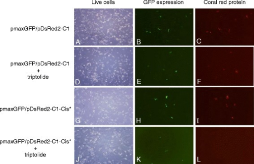 The effect of triptolide on reef coral red and GFP proteins expressions in A549 lung tumor cells. The undamaged or cisplatin-damaged pDsRed2-C1 plasmid (pDsRed2-C1-Cis*) was co-transfected with pmaxGFP plasmid DNA into A549 cells. The transfected cells were cultured in the presence or absence of triptolide (10 ng/ml) for 24 h and expressions of both reef coral red and GFP proteins were detected by fluorescence microscope using excitation/emission lights with wavelengths of 563 nm/582 nm and 475 nm/505 nm respectively for reef coral red and GFP proteins. The light image of the same view was also documented for visualization of the live cells