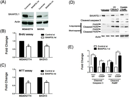 Knockdown of endogenous BAIAP2L1 inhibits cell proliferation and enhances apoptosis induced by UV and cisplatin.BAIAP2L1 in two ovarian cancer cell lines (MDAH2774 and SKOV3) were knockdowned with si-RNA (A) and analyzed with (B) BrdU incorportation assay and (C) MTT assay. (D) BAIAP2L1 knockdown in SKOV3 cells increased cleavage of caspase 3 and PARP, which were indicators of apoptosis. The cells were irradiated with UV (100 J/M2) or treated with 10 μM cisplatin for 24 h to induce apoptosis. To clearly visualize the differential intensities of cleaved PARP bands, two exposure times were used during chemiluminescence: long (60 sec) and short (10 sec). The actin level was used to normalize the amount of input protein. (E) Quantitative analyses of cleaved caspase 3 and PARP. Results shown are the mean ± standard error from three independent experiments. Asterisks denote statistical significance (p < 0.05).