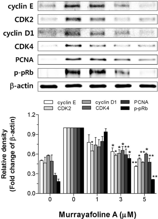 Effects of murrayafoline A on the inhibition of cell cycle regulatory proteins. Quiescent VSMCs cultured in serum-free medium were stimulated with PDGF-BB to express cell cycle regulatory proteins, and the effects of murrayafoline A on the expression of cyclin E, CDK2, cyclin D1, CDK4, and PCNA, and activation of pRb were assessed as described in the Experimental Section. β-Actin was used for normalization. Immunoblots were analyzed by densitometry and the values are given based on the control of 1.0. The results are an average of four similar experiments, expressed as means±SEM. The insets display representative blots of four similar independent experiments. Statistical differences from the PDGF-BB control (PDGF-BB-stimulated, but no murrayafoline A) are indicated by *p<0.05 or **p<0.01.