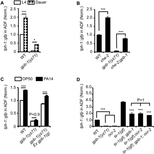tph-1::gfp expression in gpb-1(yz71) mutants under optimal and aversive conditions.(A) Dauer formation induced by aversive growth conditions caused ADF tph-1::gfp upregulation in WT and yz71mutants, as compared to their respective L4 stage siblings. (B) Mutation in cilia structural gene che-2 was capable of triggering ADF tph-1::gfp upregulation in yz71 mutants. (C) Pathogen PA14 failed to induce ADF tph-1::gfp upregulation in yz71 mutants, as comparing tph-1::gfp between 1st day adults fed PA14 and non-pathogenic bacterial control OP50 for 6 hr. gpb-1(g) transgene restored the PA14 response in yz71 mutants. (D) Comparing ADF tph-1::gfp between gpb-1(yz71) and ocr-2 TRPV channel mutants. In both mutants, ADF tph-1::gfp was diminished under optimal growth conditions, but enhanced in tir-1(yz68gf) background as compared to the yz71 and ocr-2 single mutants. yz71 and ocr-2 did not produce an additive effect. For each assay, the value of ADF GFP fluorescence in WT animals under a stress paradigm and that of mutants is normalized to the value of WT animals under optimal conditions. Data represent the average of ≥ 3 trials ± SEM, * p < 0.05, *** p < 0.001, t-test for two group comparisons, and ANOVA for multi-group/condition comparisons.