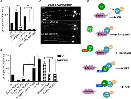 GPB-1 regulates baseline ADF tph-1::gfp expression in a GOA-1-dependent manner.(A) Both GOA-1 deletion (goa-1lf) and GTP-bound hyperactive GOA-1(Q205L) (goa-1gf) mutations elevated ADF tph-1::gfp compared to WT. gpb-1(yz71) and ocr-2 TRPV mutations suppressed tph-1::gfp in goa-1(lf) and goa-1(gf) backgrounds. (B) Dominant negative GDP-bound GOA-1(S47C) transgene (goa-1DN) diminished ADF tph-1 expression in three independent transgenic lines. goa-1(DN) transgenic animals remained capable of enhancing ADF tph-1::gfp when induced to form dauers or in tir-1(gf) background. For each assay, the value of ADF GFP fluorescence in dauers and that of mutants and transgenic animals is normalized to the value of WT animals under optimal conditions. Data represent the average of ≥ 2 trials ± SEM. The differences between WT and mutants are marked on the top of bar, and the differences between comparison groups are indicated, *p < 0.05, ** p < 0.01, *** p < 0.001, t-test for two group comparisons, and ANOVA for multi-group/condition comparisons. (C) ADF-specific marker Psrh-142::mCherry was expressed and showed characteristic ADF axon and dendritic morphology in goa-1(DN) transgenic animals. Animals at all developmental stages were analyzed, and images of L4 animals are shown. (D) A schematic of GPB-1 and GOA-1 interaction on tph-1 expression. Effector molecules compete with Goα for Gβ binding to drive tph-1 expression. In goa-1(lf) an goa-1(gf) mutants, the effector constitutively binds to Gβ. GDP-bound conformation of the GOA-1(DN) protein blocks the effector binding. GPB-1(G162E) obstructs the interactions with both GOA-1 and the effector, leading to constitutively diminished tph-1 regardless of the presence of GDP- or GTP-bound Goα.
