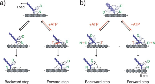 Molecular models of kinesin stepping. Kinesin moves in a walking manner using its two head domains. (a) A model in which the backward steps is not coupled with ATP binding. ATP binding to the nucleotide-free head that is attached directly to the microtubule coerces a forward-directed mechanical change in the neck domain forcing the partner head to the forward direction. After the detached head has landed, the alternate head releases from the microtubule as a result of an internal strain between the heads completing the forward step. Backward steps occur because load causes the head to briefly detach, but it quickly reattaches at a nearby backward site. (b) A model in which the backward step is coupled with ATP binding. ATP binding to the nucleotide-free head does not make an ATPase-coupled mechanical change. Instead it relieves the inhibition which allows the partner head to search for adjacent binding sites on the microtubule by undergoing a microtubule-activated ADP release of the partner head. The direction of the step is biased to the forward direction by an asymmetric free energy landscape such as a rachet-like structure or an asymmetric steric effect. The originally bound head releases after the detached head attaches. Letters in the circle at the head represent the prospective binding nucleotide: T=ATP, D=ADP, Pi=phosphate.