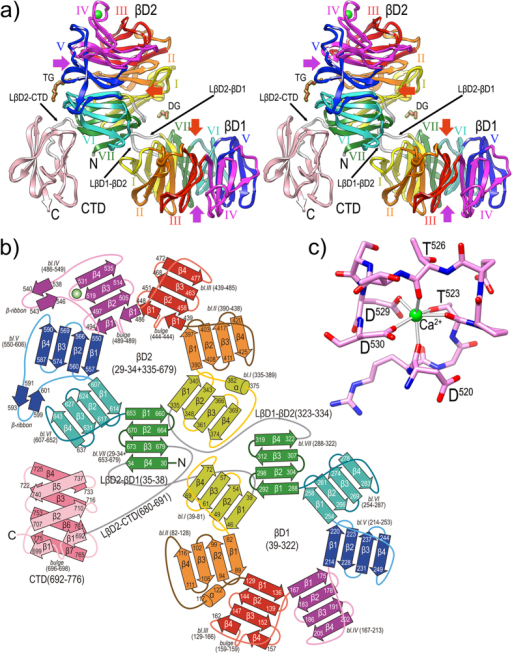 "Overall crystal structure of PorZ.(a) Ribbon-type plot in cross-eye stereo of the crystal structure to 2.9 Å resolution of PorZ depicting domains βD1, βD2 and CTD, and the three domain-connecting linkers (white ribbons; labeled LβD2-βD1, LβD1-βD2, and LβD2-CTD). Each of the seven blades of propellers βD1 and βD2 (labeled counter-clockwise I to VII) is colored in yellow, orange, red, magenta, blue, turquoise and green, respectively; the CTD is in pink. A structural calcium-binding site (green sphere) is found within βD1-blade IV, and a tetraethylene glycol (TG) and a diethylene glycol (DG) were tentaively assigned on the protein surface (brown stick-models). Other (functionally probably irrelevant) ions and ligands were omitted for clarity. The central shafts of βD1 and βD2 are pinpointed on the entry and exit sides of the propellers by red and purple arrows, respectively. For labels and extension of regular secondary structure elements, see (b). (b) Topology scheme of PorZ, with β-strands as arrows and helices as cylinders, colored as in (a). The polypeptide chain spans residues G29—R776 and the three constituting domains plus the linkers (in grey) are indicated with the residues delimiting each structural element (strands, bulges, helices, β-ribbons, blades and domains). The nomenclature adopted in the text for structure elements is ""domain-blade-structural element"", e.g. βD1-VI-β3 or βD2-IV-β-ribbon. (c) Structural calcium-binding site framed by segment D520—D530 within loop Lβ3β4 of βD1-blade IV. The ion is octahedrally coordinated by D520O, T523O, T523Oγ, T526O, D529Oδ1 and D530Oδ1, which are at binding distances of ~2.4 Å."