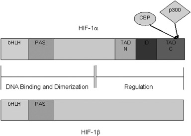 The structure of the HIF-1α and HIF-1β genes. These genes contain a basic helix-loop-helix (bHLH) motif and Per-ARNT-Sim (PAS) domain, both of which aid in dimerization and the binding of the subunits to DNA. The carboxy-terminal transactivation domains of these genes serve as regulatory and transactivation regions. Transcriptional activators CBP and p300 bind to the TAD-C region of the HIF-1α gene.  Also depicted on the diagram of HIF-1α gene is the inhibitory domain, an important regulatory region.